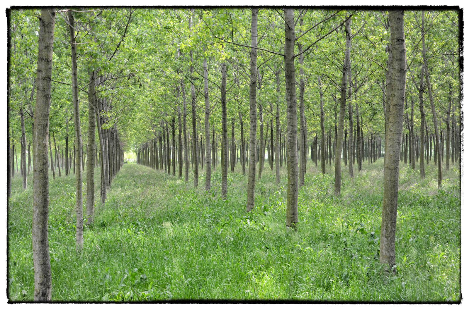 filari di alberi